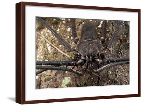 Tailless Whip Scorpion, Yasuni NP, Amazon Rainforest, Ecuador-Pete Oxford-Framed Art Print