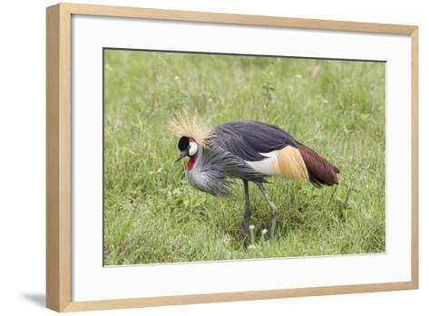 Grey-Crowned Crane Hunting, Ngorongoro Conservation Area, Tanzania-James Heupel-Framed Art Print