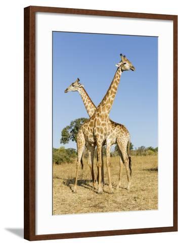 Botswana, Chobe NP, Giraffes Standing Side by Side in Okavango Delta-Paul Souders-Framed Art Print