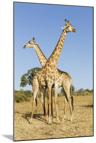 Botswana, Chobe NP, Giraffes Standing Side by Side in Okavango Delta-Paul Souders-Mounted Photographic Print