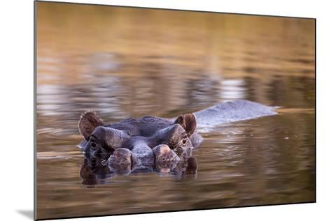 Botswana, Moremi Game Reserve, Hippopotamus Swimming in Khwai River-Paul Souders-Mounted Photographic Print