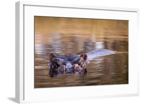 Botswana, Moremi Game Reserve, Hippopotamus Swimming in Khwai River-Paul Souders-Framed Art Print