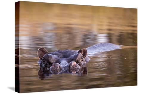 Botswana, Moremi Game Reserve, Hippopotamus Swimming in Khwai River-Paul Souders-Stretched Canvas Print