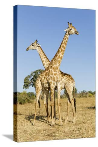 Botswana, Chobe NP, Giraffes Standing Side by Side in Okavango Delta-Paul Souders-Stretched Canvas Print