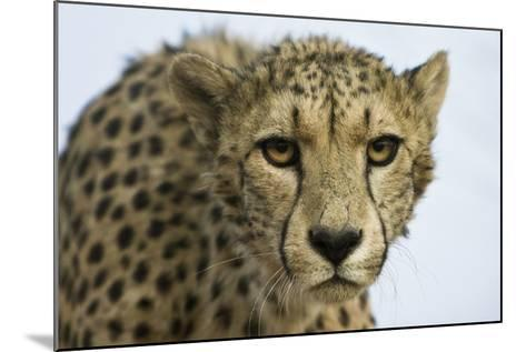 Livingstone, Zambia, Africa. Cheetah-Janet Muir-Mounted Photographic Print