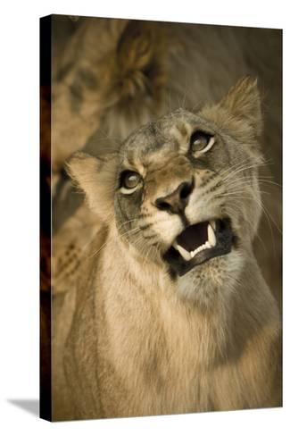 Livingston, Zambia. the Face of a Female Lioness While Mating-Janet Muir-Stretched Canvas Print