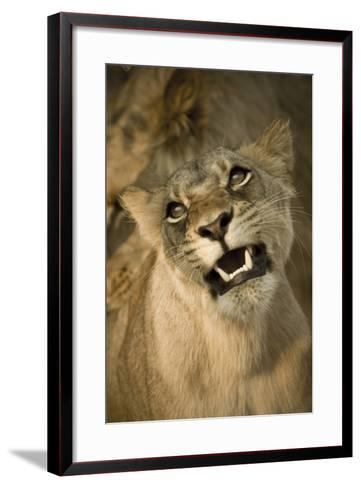 Livingston, Zambia. the Face of a Female Lioness While Mating-Janet Muir-Framed Art Print