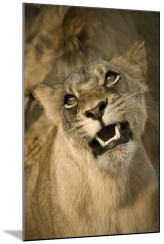 Livingston, Zambia. the Face of a Female Lioness While Mating-Janet Muir-Mounted Photographic Print