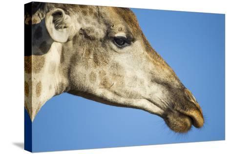 Botswana, Chobe NP, Close-up of Giraffe Standing Near Chobe River-Paul Souders-Stretched Canvas Print