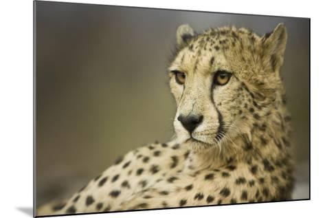 Livingstone, Zambia, Africa. Cheetah-Janet Muir-Mounted Photographic Print