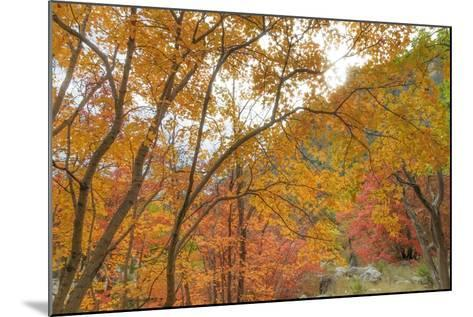 Texas, Guadalupe Mountains NP. Bigtooth Maple Trees in Fall Color-Don Paulson-Mounted Photographic Print