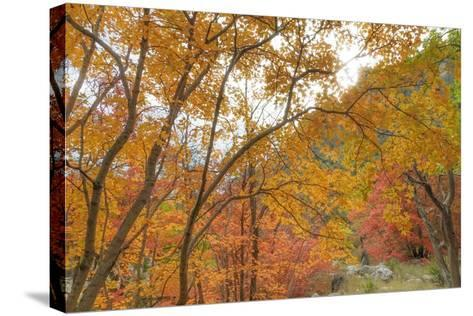 Texas, Guadalupe Mountains NP. Bigtooth Maple Trees in Fall Color-Don Paulson-Stretched Canvas Print