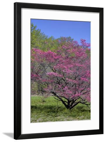 USA, Pennsylvania, Wayne, Chanticleer Garden. Tree in Bloom-Jay O'brien-Framed Art Print