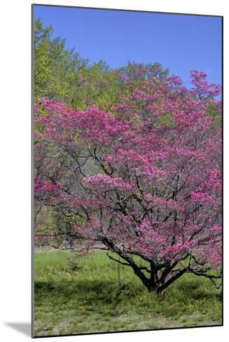 USA, Pennsylvania, Wayne, Chanticleer Garden. Tree in Bloom-Jay O'brien-Mounted Photographic Print