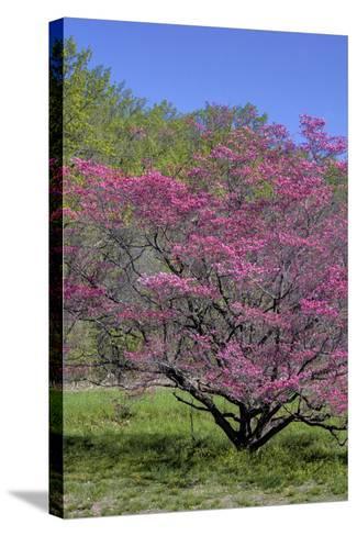 USA, Pennsylvania, Wayne, Chanticleer Garden. Tree in Bloom-Jay O'brien-Stretched Canvas Print