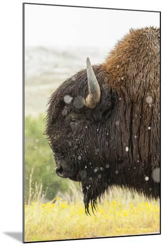 USA, South Dakota, Custer State Park. Profile of Bison-Cathy & Gordon Illg-Mounted Photographic Print