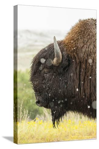 USA, South Dakota, Custer State Park. Profile of Bison-Cathy & Gordon Illg-Stretched Canvas Print