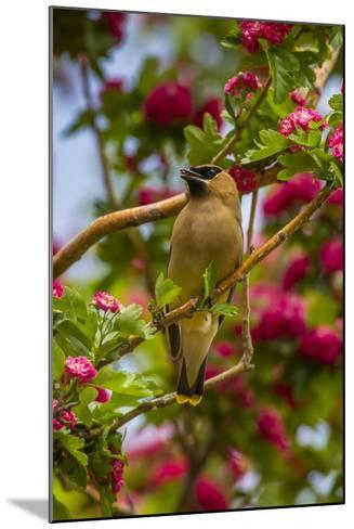 Oregon, Malheur National Wildlife Refuge. Close-up of Cedar Waxwing-Cathy & Gordon Illg-Mounted Photographic Print