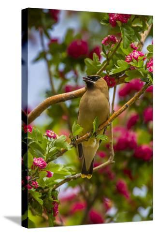 Oregon, Malheur National Wildlife Refuge. Close-up of Cedar Waxwing-Cathy & Gordon Illg-Stretched Canvas Print