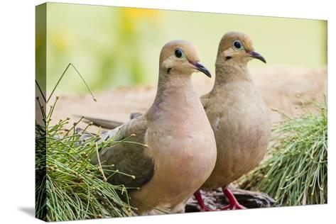 Mourning Doves (Zeaida Macroura) Pair-Larry Ditto-Stretched Canvas Print