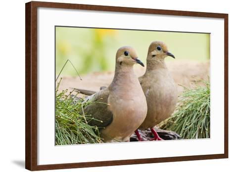 Mourning Doves (Zeaida Macroura) Pair-Larry Ditto-Framed Art Print