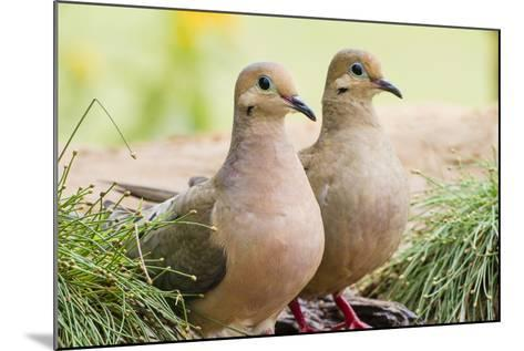 Mourning Doves (Zeaida Macroura) Pair-Larry Ditto-Mounted Photographic Print