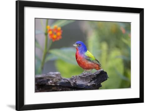 Painted Bunting (Passerina Ciris) Male Perched-Larry Ditto-Framed Art Print