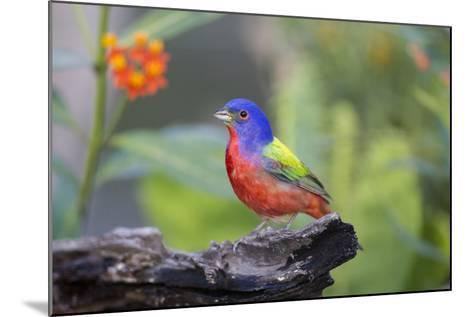 Painted Bunting (Passerina Ciris) Male Perched-Larry Ditto-Mounted Photographic Print