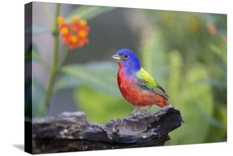 Painted Bunting (Passerina Ciris) Male Perched-Larry Ditto-Stretched Canvas Print