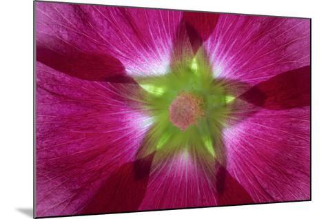 USA, Washington State, Seabeck. Hollyhock Blossom Composite-Don Paulson-Mounted Photographic Print