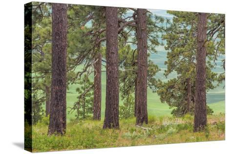 USA, Washington State, Palouse Hills. Pine Forest Scenic-Don Paulson-Stretched Canvas Print
