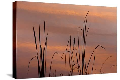 Tennessee, Falls Creek Falls State Park. Sunrise on Cattails in Lake-Don Paulson-Stretched Canvas Print