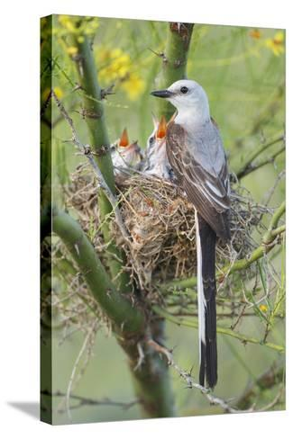 Scissor-Tailed Flycatcher Adult with Babies at Nest-Larry Ditto-Stretched Canvas Print