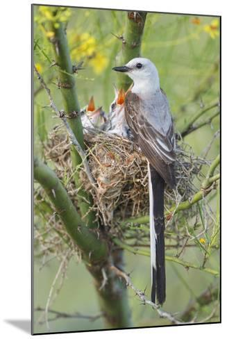 Scissor-Tailed Flycatcher Adult with Babies at Nest-Larry Ditto-Mounted Photographic Print