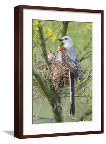 Scissor-Tailed Flycatcher Adult with Babies at Nest-Larry Ditto-Framed Art Print