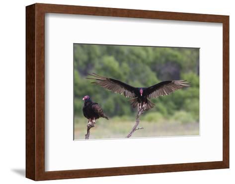 Turkey Vulture (Cathartes Aura) Landing, in Flight-Larry Ditto-Framed Art Print
