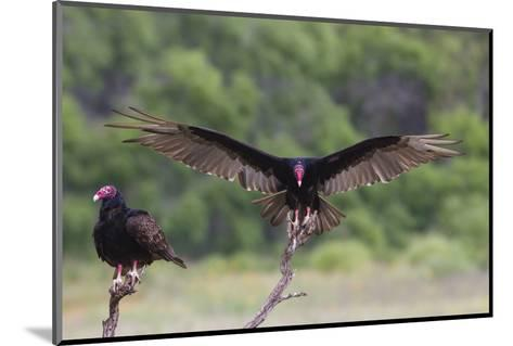 Turkey Vulture (Cathartes Aura) Landing, in Flight-Larry Ditto-Mounted Photographic Print
