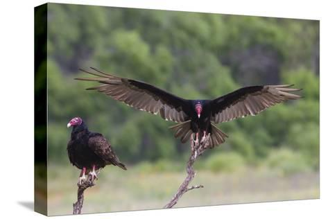 Turkey Vulture (Cathartes Aura) Landing, in Flight-Larry Ditto-Stretched Canvas Print