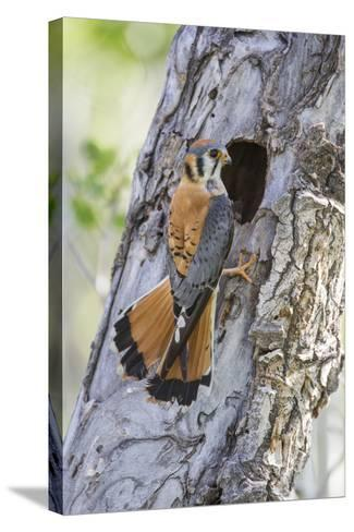 USA, Wyoming, Sublette County, Male American Kestrel at Nest Cavity-Elizabeth Boehm-Stretched Canvas Print