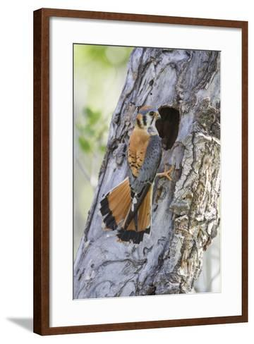 USA, Wyoming, Sublette County, Male American Kestrel at Nest Cavity-Elizabeth Boehm-Framed Art Print