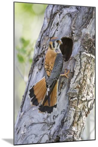 USA, Wyoming, Sublette County, Male American Kestrel at Nest Cavity-Elizabeth Boehm-Mounted Photographic Print