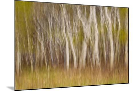 USA, Montana. Aspen Forest Abstract-Don Paulson-Mounted Photographic Print