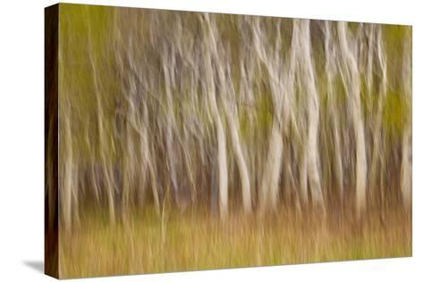 USA, Montana. Aspen Forest Abstract-Don Paulson-Stretched Canvas Print