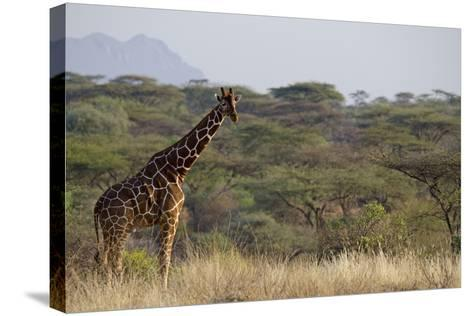 Kenya, Laikipia, Il Ngwesi, Reticulated Giraffe in the Bush-Anthony Asael-Stretched Canvas Print
