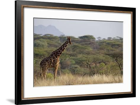 Kenya, Laikipia, Il Ngwesi, Reticulated Giraffe in the Bush-Anthony Asael-Framed Art Print