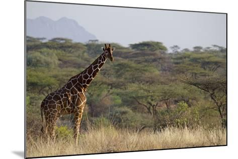 Kenya, Laikipia, Il Ngwesi, Reticulated Giraffe in the Bush-Anthony Asael-Mounted Photographic Print