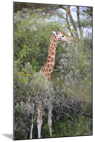 Kenya, Lake Nakuru National Park, Giraffe Eating from the Tree-Anthony Asael-Mounted Photographic Print