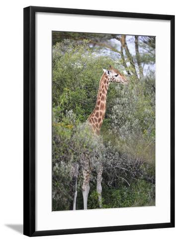 Kenya, Lake Nakuru National Park, Giraffe Eating from the Tree-Anthony Asael-Framed Art Print