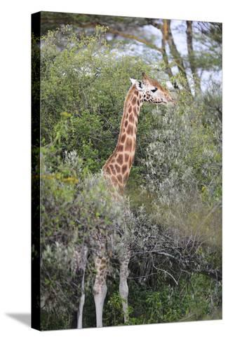 Kenya, Lake Nakuru National Park, Giraffe Eating from the Tree-Anthony Asael-Stretched Canvas Print