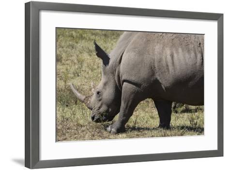 South Durban. Tala Game Reserve. White Rhino-Cindy Miller Hopkins-Framed Art Print
